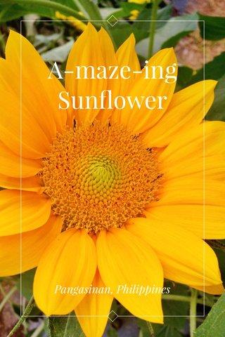 A-maze-ing Sunflower Pangasinan, Philippines