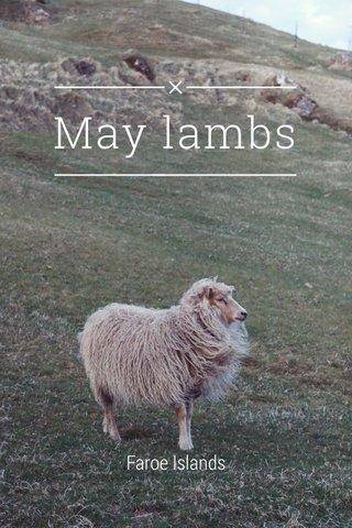 May lambs Faroe Islands