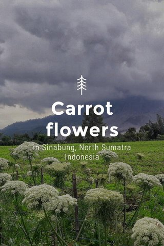 Carrot flowers in Sinabung, North Sumatra Indonesia
