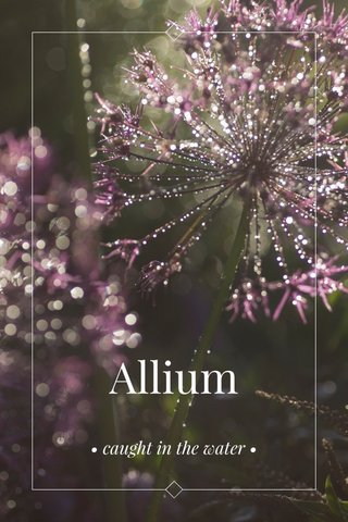 Allium • caught in the water •
