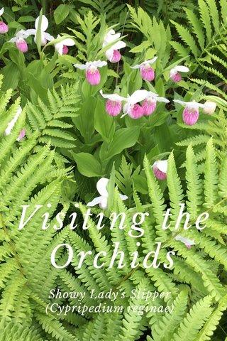 Visiting the Orchids Showy Lady's Slipper (Cypripedium reginae)