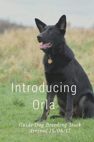 Introducing Orla Guide Dog Breeding Stock Arrived 16/06/17