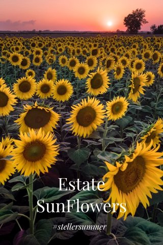 Estate SunFlowers #stellersummer