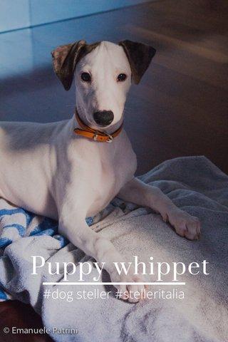 Puppy whippet #dog steller #stelleritalia