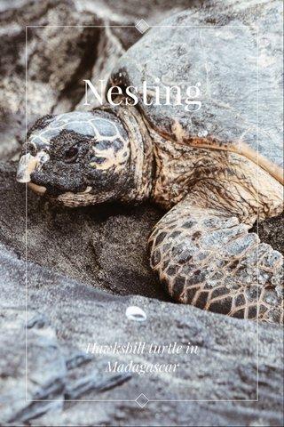 Nesting Hawksbill turtle in Madagascar