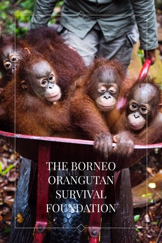 THE BORNEO ORANGUTAN SURVIVAL FOUNDATION