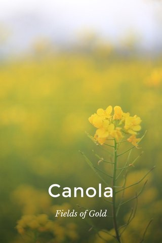 Canola Fields of Gold