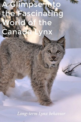 A Glimpse into the Fascinating World of the Canada Lynx Long-term Lynx behavior