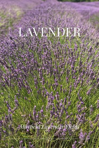 LAVENDER Mayfield Lavender Fields