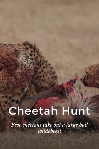Cheetah Hunt Five cheetahs take out a large bull wildebeest