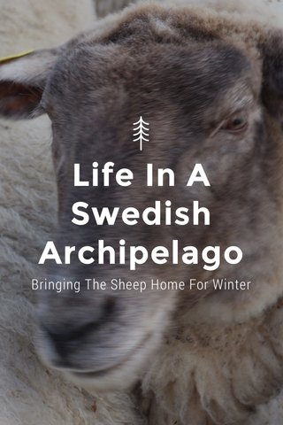 Life In A Swedish Archipelago Bringing The Sheep Home For Winter