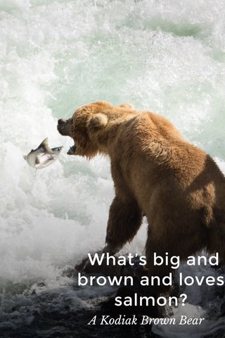 What's big and brown and loves salmon? A Kodiak Brown Bear
