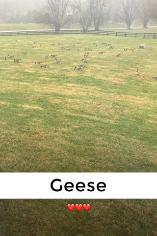 Geese ❤️❤️❤️