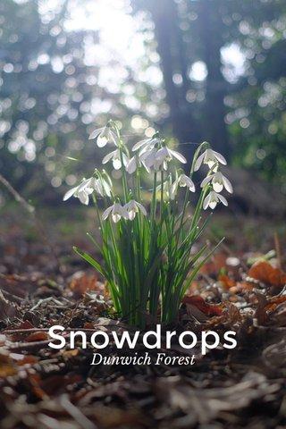 Snowdrops Dunwich Forest