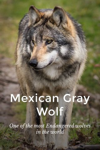 Mexican Gray Wolf One of the most Endangered wolves in the world