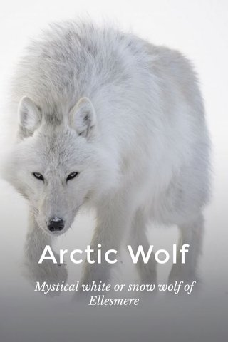 Arctic Wolf Mystical white or snow wolf of Ellesmere