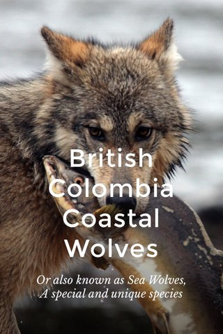 British Colombia Coastal Wolves Or also known as Sea Wolves, A special and unique species