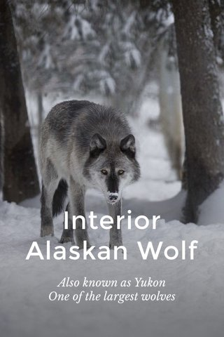 Interior Alaskan Wolf Also known as Yukon One of the largest wolves