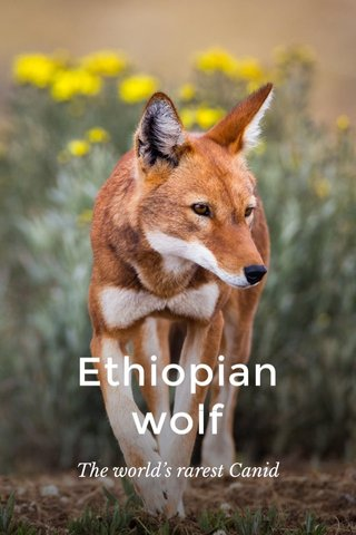 Ethiopian wolf The world's rarest Canid