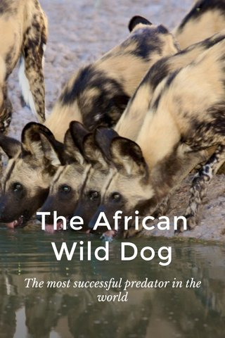 The African Wild Dog The most successful predator in the world