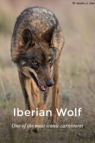 Iberian Wolf One of the most iconic carnivores