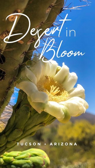 Desert Bloom in TUCSON • ARIZONA