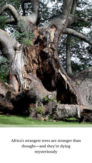 Africa's strangest trees are stranger than thought—and they're dying mysteriously