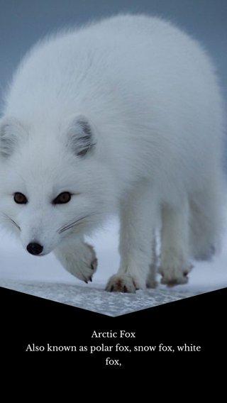 Arctic Fox Also known as polar fox, snow fox, white fox,