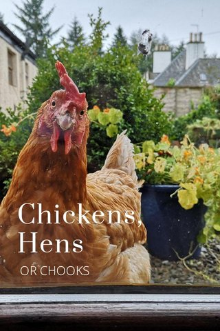 Chickens, Hens OR CHOOKS