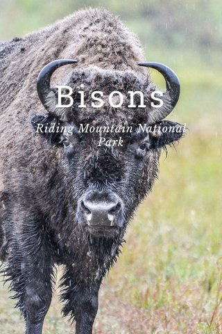 Bisons Riding Mountain National Park