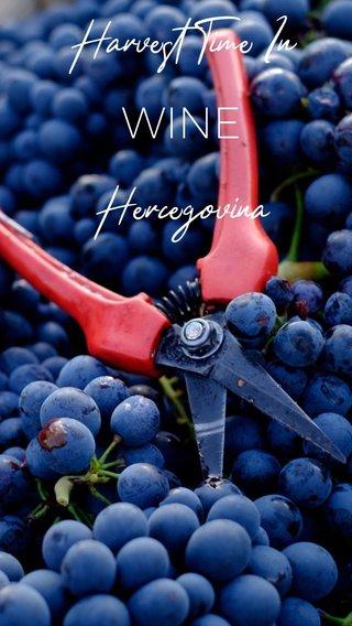 WINE Harvest Time In Hercegovina
