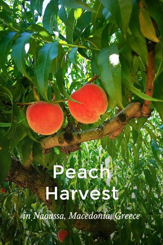 Peach Harvest in Naoussa, Macedonia, Greece
