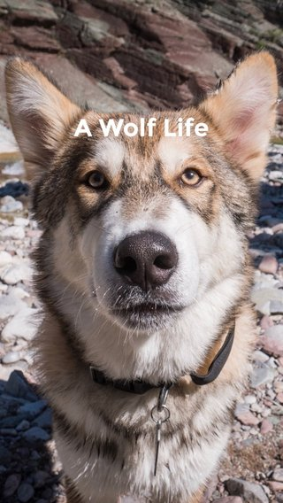 A Wolf Life