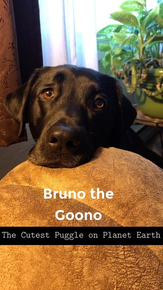 Bruno the Goono The Cutest Puggle on Planet Earth