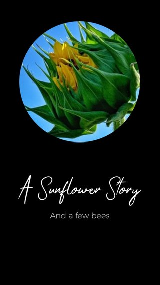 A Sunflower Story And a few bees
