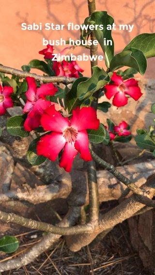 Sabi Star flowers at my bush house in Zimbabwe