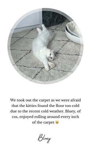 Bluey We took out the carpet as we were afraid that the kitties found the floor too cold due to the recent cold weather. Bluey, of cos, enjoyed rolling around every inch of the carpet 😽