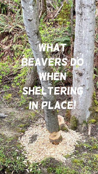 What Beavers do when sheltering in place!