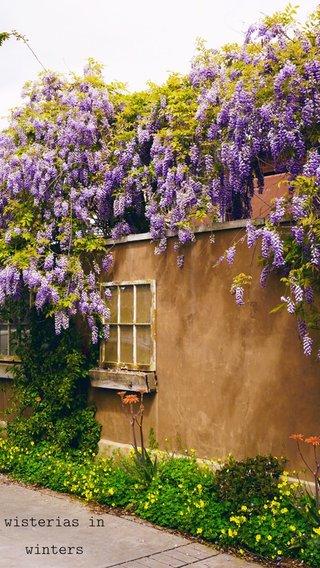 wisterias in winters