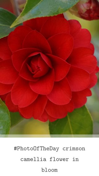#PhotoOfTheDay crimson camellia flower in bloom