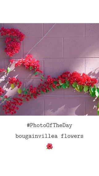 #PhotoOfTheDay bougainvillea flowers 🌺