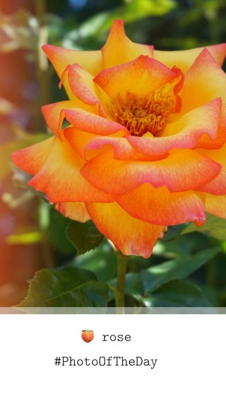 🍑 rose #PhotoOfTheDay