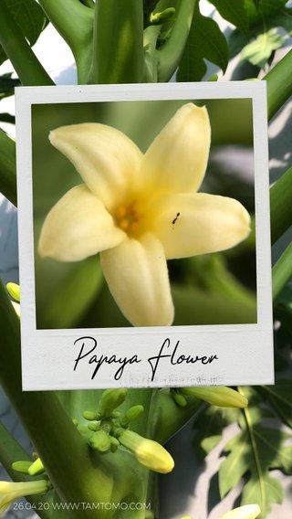Papaya Flower 26.04.20 WWW.TAMTOMO.COM