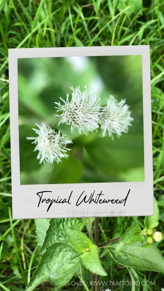 Tropical Whiteweed 26.04.20 WWW.TAMTOMO.COM