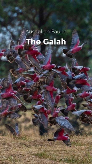 The Galah Australian Fauna