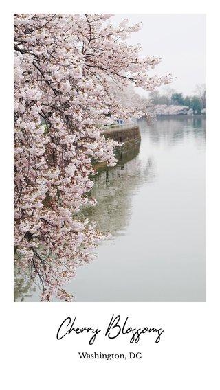 Cherry Blossoms Washington, DC