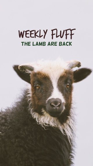 WEEKLY FLUFF THE LAMB ARE BACK