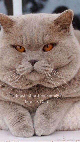 🐾British Shorthair Family🐾 Mom & Dad