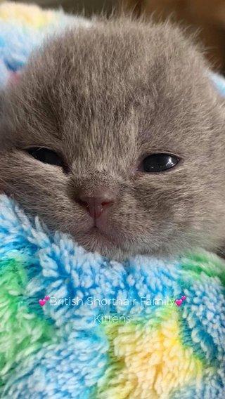 💕British Shorthair Family💕 Kittens