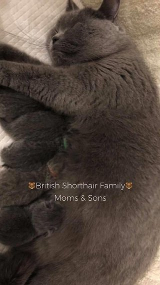 🐻British Shorthair Family🐻 Moms & Sons